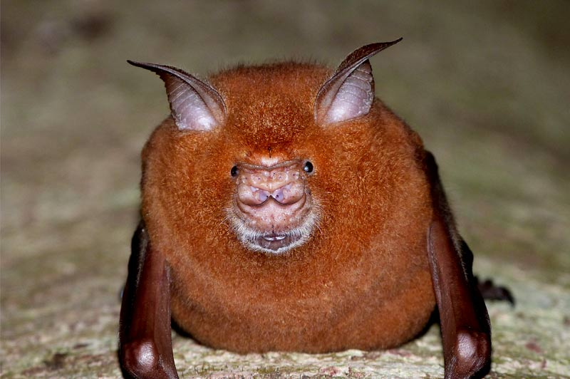 Madagascar bats