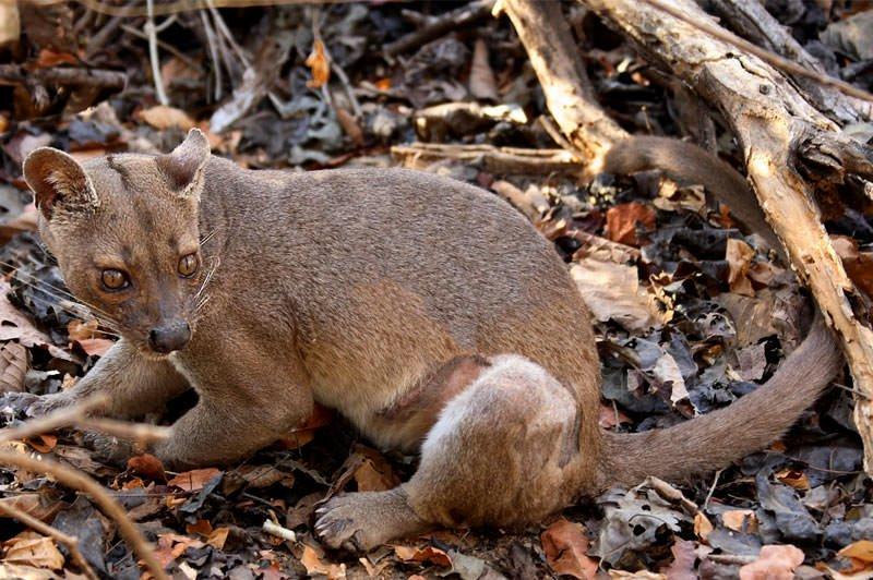 Madagascar's carnivores