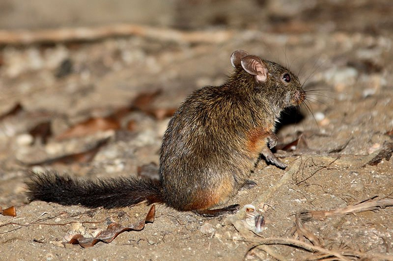 Madagascar's rodents